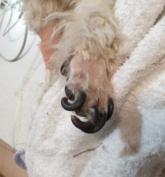 Dog with long curling nails